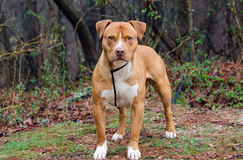 Red and white American Staffordshire Bull Terrier. Pitbull dog, outdoor pet photography for Walton County Animal Control shelter Georgia, humane society Royalty Free Stock Image
