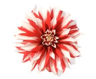 Red and white aster Royalty Free Stock Photography