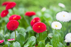 Red and white aster flowers Stock Image