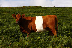 Free Red & White Belted Galloway Cow Stock Photos - 45212553