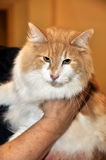 Red with white big Maine Coon cat Stock Photos