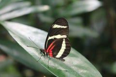Red-White-Black Butterfly in Copenhagen Zoo. 2017 Copenhagen Zoo stock image