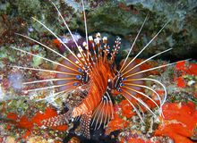 Red, white and blue Lion fish Stock Photography