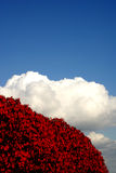 Red, white, and blue scene. Red leaves with backdrop of fluffy white clouds against blue sky Royalty Free Stock Photography