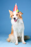 Red and white border collie Happy birthday Stock Photography