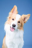 Red and white border collie portrait close up Royalty Free Stock Photography