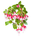 Red and white branch  fuchsia  on white Royalty Free Stock Photography