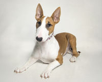 Red and white bull terrier puppy Royalty Free Stock Photos