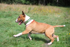 Red and white bull terrier running at the field Stock Photo