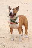 Red and white bull terrier standing at the beach Stock Photo