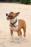 Red and white bull terrier standing at the beach Royalty Free Stock Photos