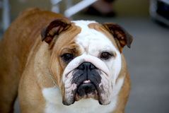 Red and white bulldog posing for her picture Stock Image
