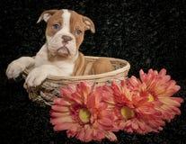 Red and White Bulldog Puppy Stock Photo