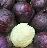 Red and white cabbage Royalty Free Stock Photography
