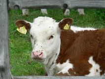 Red and White Calf Royalty Free Stock Photography