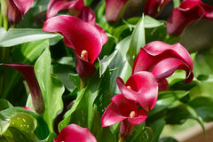 Red and white calla lily Royalty Free Stock Photo