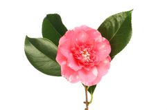 Red and white camellia. Red and white flecked camellia flower and leaves isolated against white stock photos