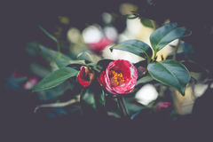 Red and White Camellia. A red and white camellia with green leaves Royalty Free Stock Image