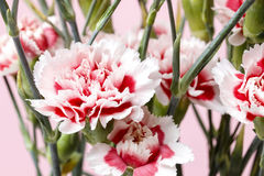 Red and white carnation flower Royalty Free Stock Photography