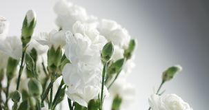 Red and white carnation flower rotation stock footage