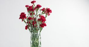 Red and white carnation flower rotation stock video footage