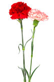 Red and white carnations Stock Image