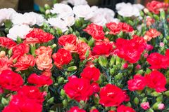 Red and white carnations background at Flower Market in Hong Kong, selective focus. Floristry and floriculture backdrop.  royalty free stock photo