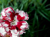 Red and white carnations in green garden. Close up of red and white carnations in green garden with sunlight royalty free stock images