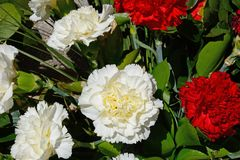 Red and white carnations. Stock Image