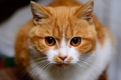 Red & white cat. Domestic red and white cat royalty free stock photos