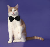 Red and white cat in bow tie sitting on blue Royalty Free Stock Image