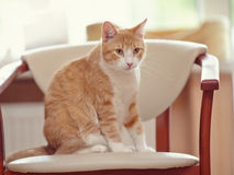 Red with white a cat. Royalty Free Stock Photo