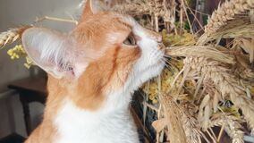 Red-white cat eats the dry rye ears stock video footage