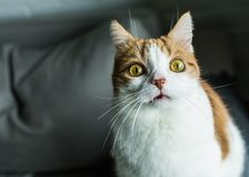 Ginger and white cat with funny expression. Ginger and white cat with funny dramatic expression, bulging yellow eyes and vampire fangs looking into lenses royalty free stock photos