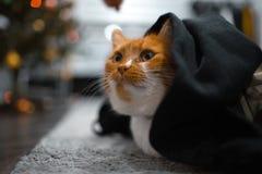 Red white cat hiding under black blanket stock photography