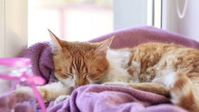 Red white cat kitty sleeping on lilac blanket on the windowsill stock video
