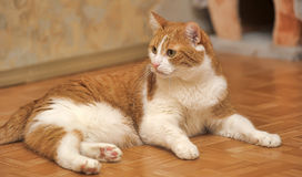 Red & white cat Royalty Free Stock Photos