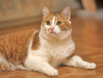 Red & white cat Royalty Free Stock Photography