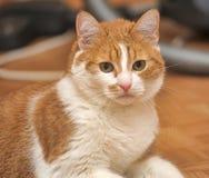 Red & white cat Stock Photos
