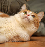 Red & white cat Royalty Free Stock Photo