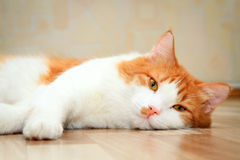 Red and white cat lying on the floor Stock Photography