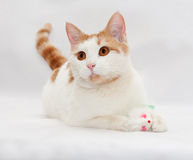Red and white cat lying on a gray  and holds toy mouse Royalty Free Stock Image