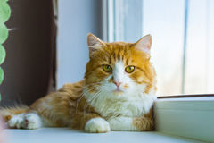 Red and white cat. Nice red and white tom cat Royalty Free Stock Photo