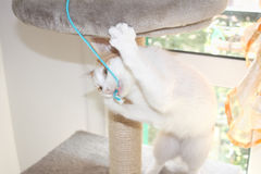 Red and white cat playing with string on scratching post Royalty Free Stock Image