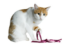 Red and white cat with purple ribbon Royalty Free Stock Image