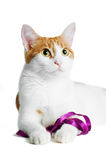Red and white cat with purple ribbon isolated Royalty Free Stock Image