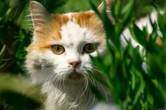 Red white cat. Among the green grass Stock Image