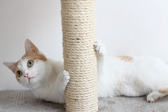 Red and white cat and scratching post. Red and white female cat and scratching post Stock Images