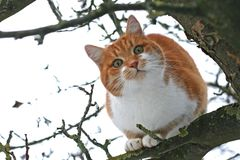 Red and white cat sitting on a bare tree. Looking into camera Royalty Free Stock Images