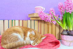 Red and white cat sleeping on pink scarf Stock Image